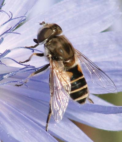 Eristalis arbustorum - female