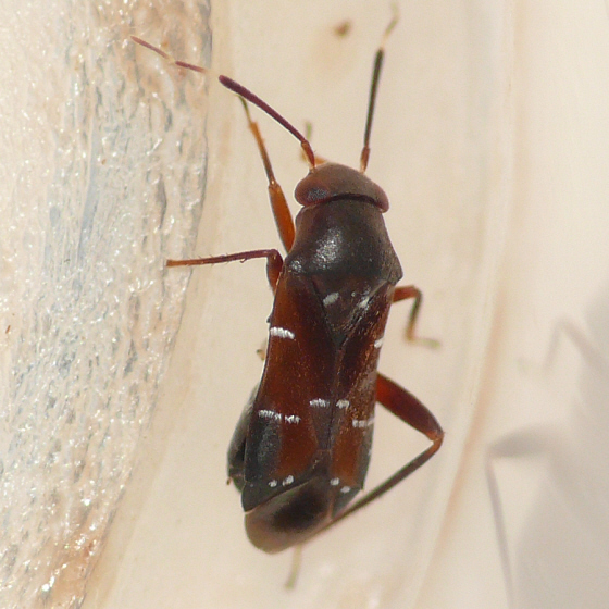 Pilophorus walshii
