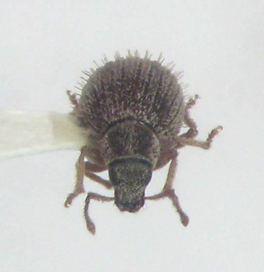 Brachysomus echinatus (Bonsdorff) - Brachysomus echinatus
