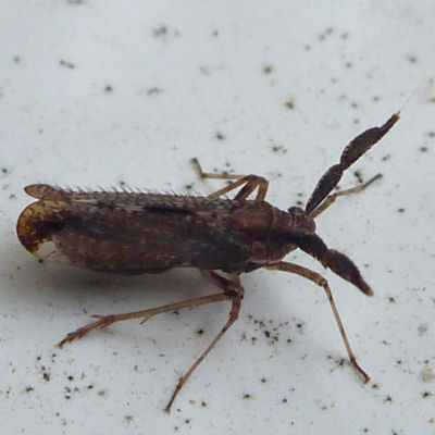 A delphacid planthopper - Copicerus irroratus - Copicerus irroratus