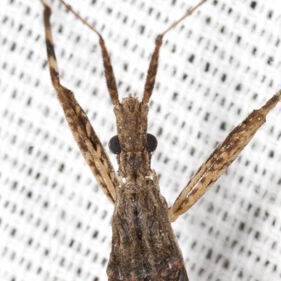 Assassin Bug - Pygolampis pectoralis
