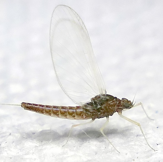 mayfly - Baetis - female