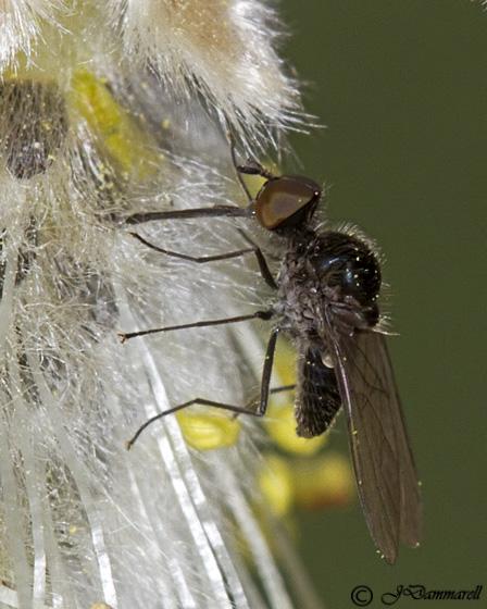 Fly on Willow - Apolysis