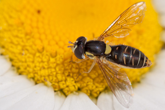 Syrphid Fly - Sphaerophoria sulphuripes - female