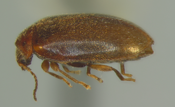 Scirtidae, lateral - Contacyphon