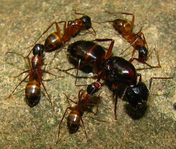Carpenter Ants - Camponotus americanus - female
