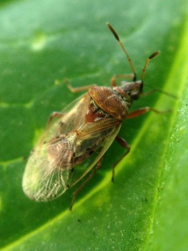 Possibly Kleidocerys resedae - Birch Catkin Bug? On phlox - Kleidocerys resedae