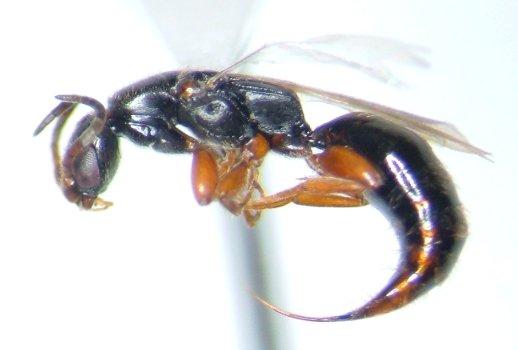 Bethylid - Holepyris - female