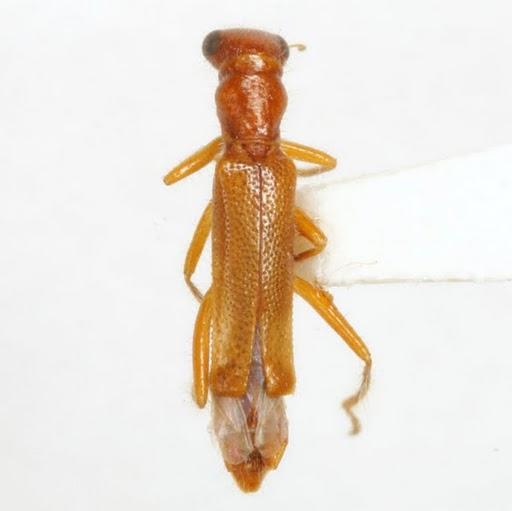 Isohydnocera brunnea Chapin - Isohydnocera brunnea