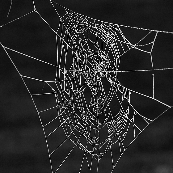 Orb Weaver Web - Araneus diadematus