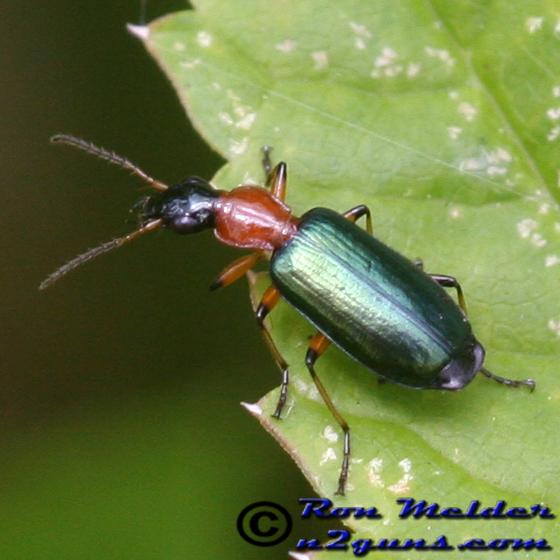 Ground Beetle - Calleida decora