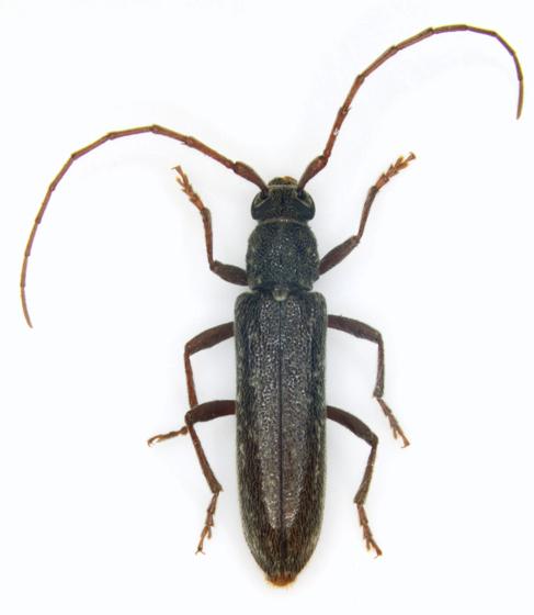 Cerambycidae, dorsal - Anelaphus villosus