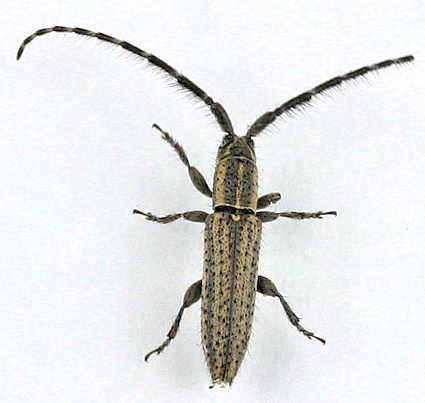 Cerambycidae - Dorcasta ? - Dorcasta cinerea