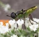Bug on Sweet Almond Verbena