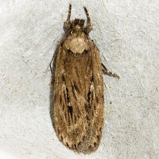 Parsnip Webworm Moth - Hodges#0922 - Depressaria radiella