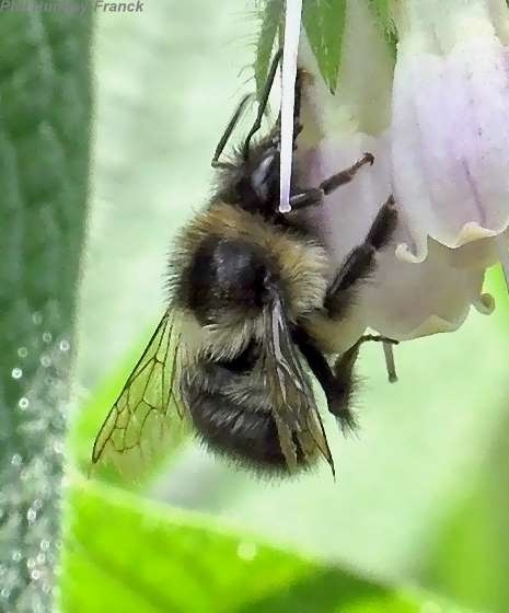 bumblebee - Bombus mixtus - male