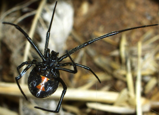 Western Black Widow? - Latrodectus hesperus - female