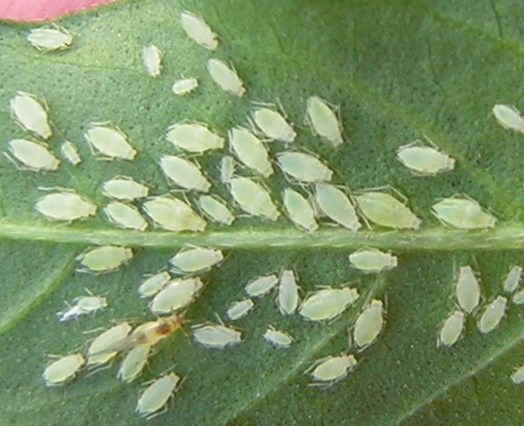 Help...my aphid plant has tomatoes! - Tomatoville® Gardening Forums