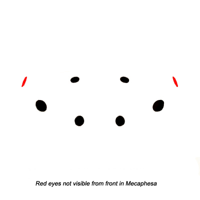 Eye Arrangement - Mecaphesa
