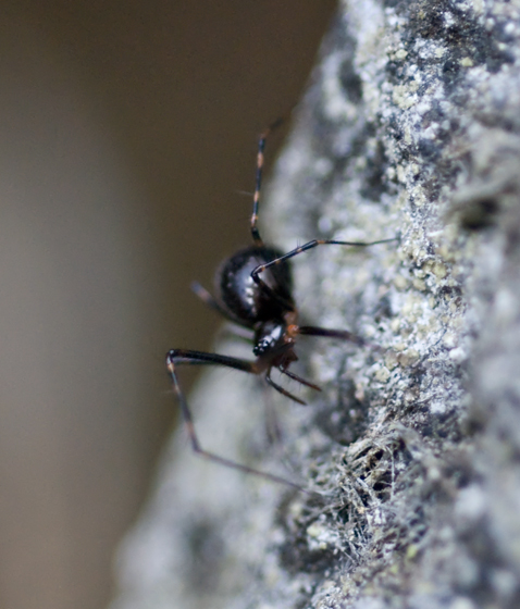 Tiny Black Spider