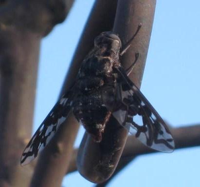 Lacy Wings - Xenox tigrinus