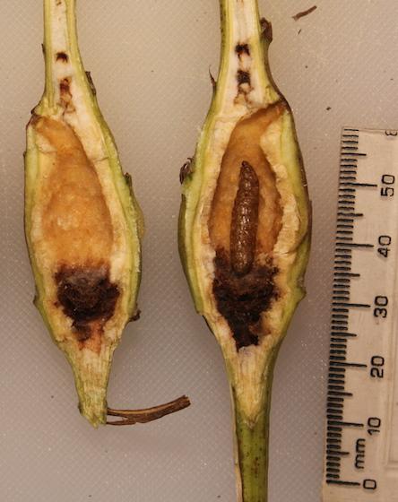 Larva killed by parasitoids - Gnorimoschema gallaesolidaginis