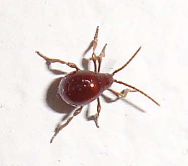 Tiny Brownish Red Insect Gibbium Aequinoctiale
