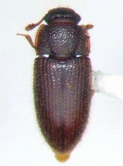 Diplocoelus rudis