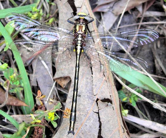 dragonfly - 4-20-09 - Phanogomphus oklahomensis