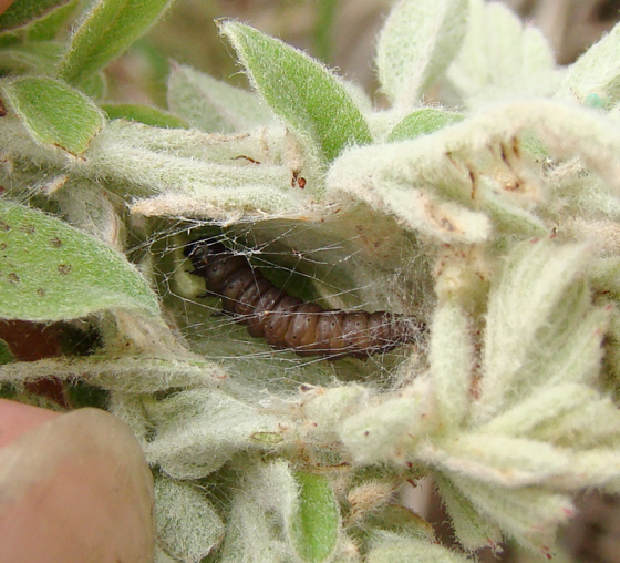 Gelechiidae on Lead Plant - Anacampsis wikeri