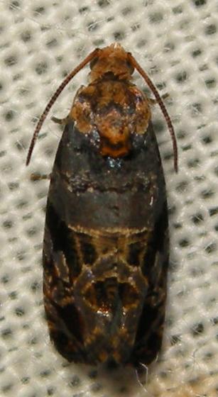 grape berry moth - Paralobesia viteana