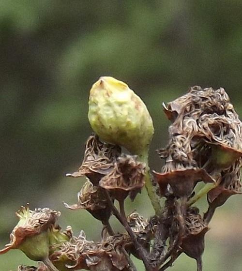 Spiraea gall (maybe) #1