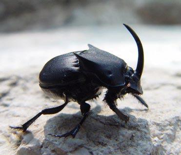 Texas Black Phanaeus, Phanaeus triangularis texensis - Phanaeus triangularis - male