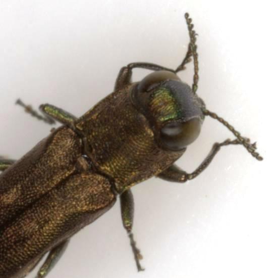 Agrilus neoprosopidus Knull - Agrilus neoprosopidus