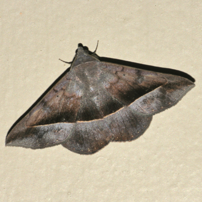 Ferguson's Epidromia Moth - Hodges #8585.3 - Epidromia rotundata