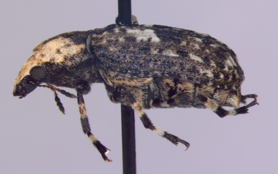 Anthribidae, lateral - Euparius marmoreus