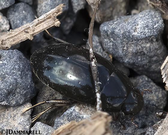 Beetle - Tropisternus