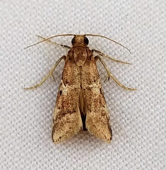 Alpheioides parvulalis? - Alpheioides parvulalis