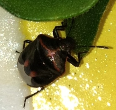 Twice-stabbed Stink Bug (Cosmopepla lintneriana)? - Cosmopepla lintneriana
