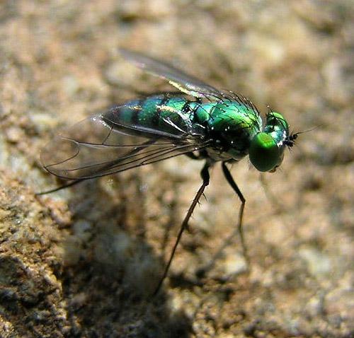 Long-legged Fly? - Condylostylus