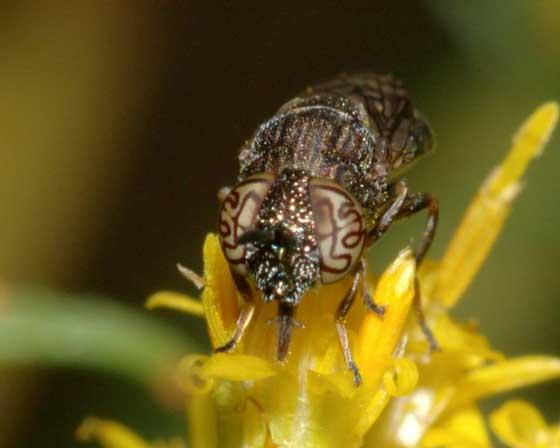 Fancy-eyed fly - Orthonevra nitida - female