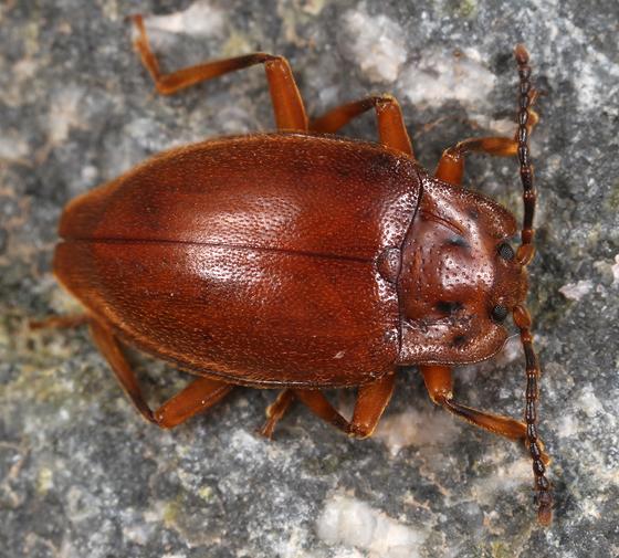 handsome fungus beetle - Epipocus gorhami