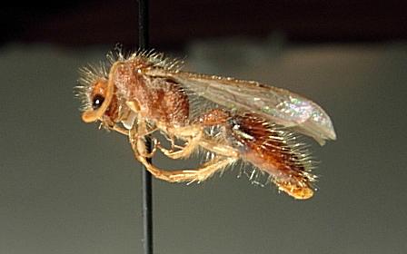 Acrophotopsis eurygnatha - male