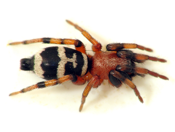 Kitchen Sink Spider   Sergiolus Capulatus   Female