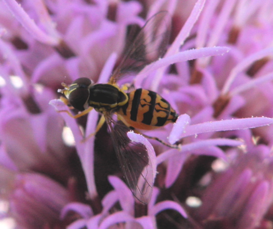 Toxomerus geminatus - female
