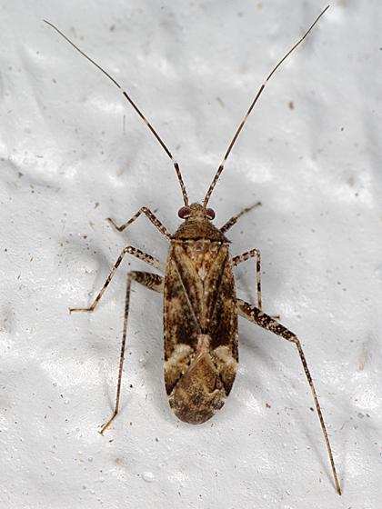 plant bug - Phytocoris