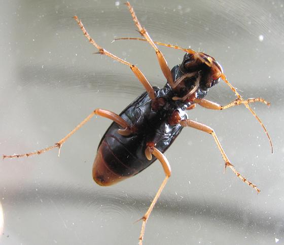 Green ground beetle? - Tetracha virginica