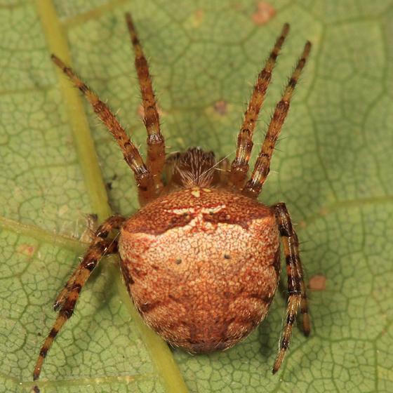 Orb Weaver - Araneus corticarius - female