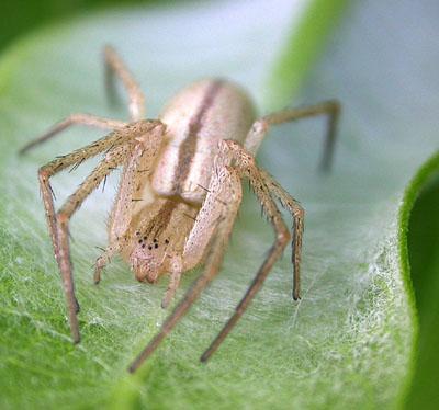 Spider on Milweed - Tibellus - female