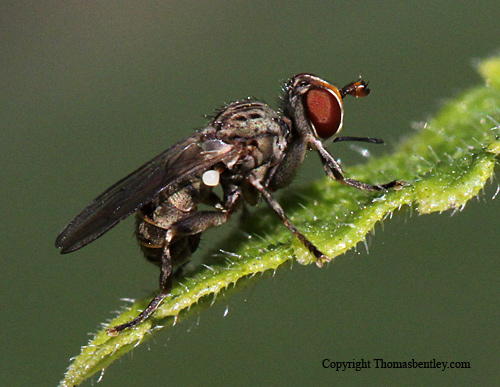 Thick-headed Fly - Zodion